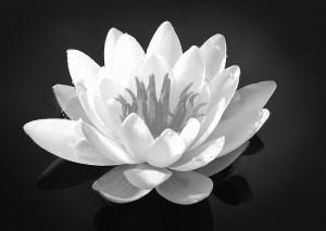 Black & White Lilly(1)